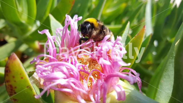 Bumblebee on a pink flower in Portugal