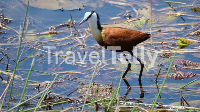 African jacana walks in a shallow lake searching for food