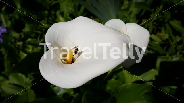 Insect inside of white arum