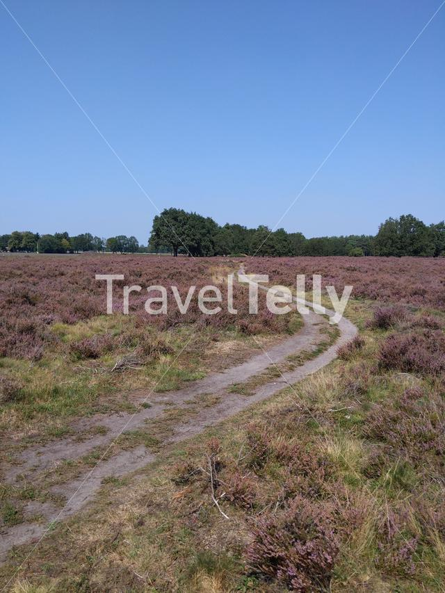 Flowering heather around the Lemelerberg in Overijssel, The Netherlands