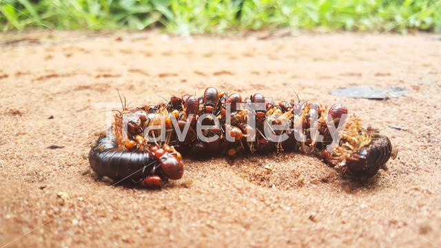 Bugs eating a dead giant Millipede in Guinea-Bissau, Africa