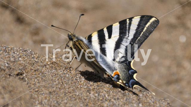 Old world swallowtail butterfly gets nutrients from soil in Spain