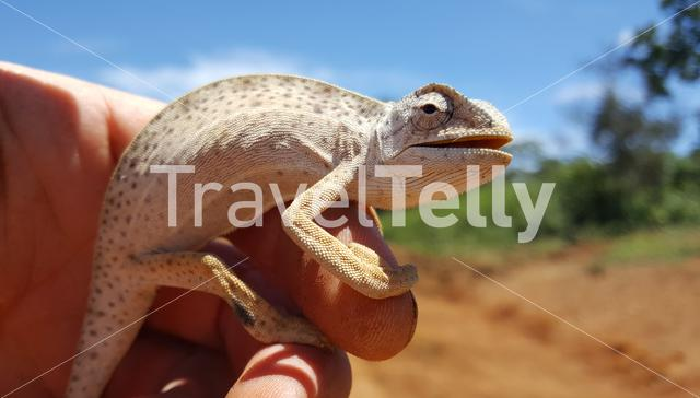 Small african chameleon on a hand in Cameroon
