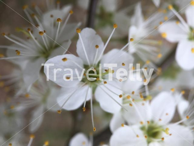 Prunus cherry tree flowers in The Netherlands