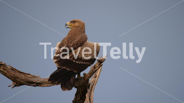 Golden Eagle on a tree trunk