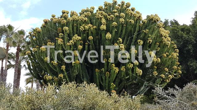 Cacti in the sand dunes of Maspalomas, Gran Canaria