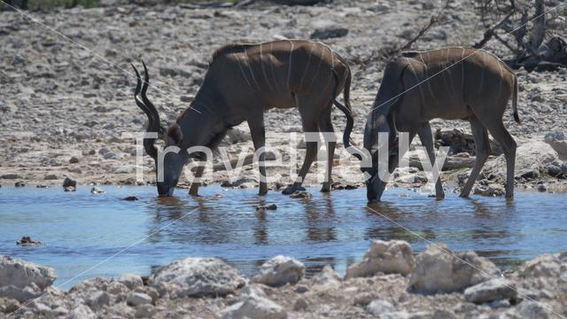 Two greater kudus drinking from a pond