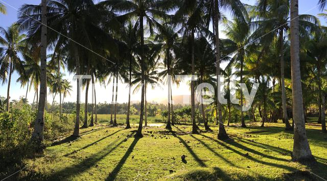 Panorama from sunlight through the Palmtrees at the countryside in Anda Bohol the Philippines