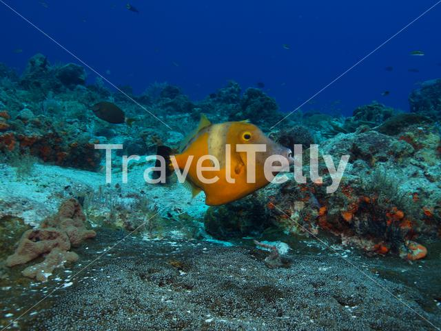 Filefish in the Mesoamerican Reef Mexico