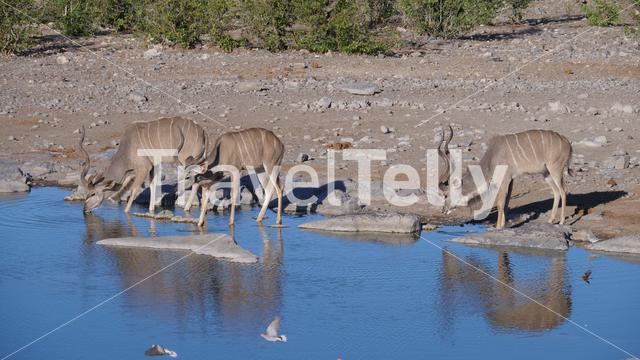 Three greater kudus drinking from a pond