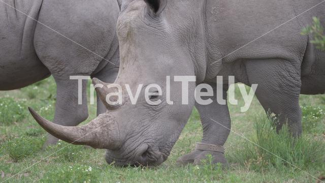 Rhino grazing at Khama Rhino Sanctuary in Botswana