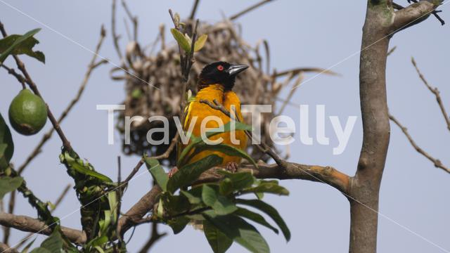 Weaver bird in a tree at Cantanhez Forests National Park in Guinea-Bissau, Africa