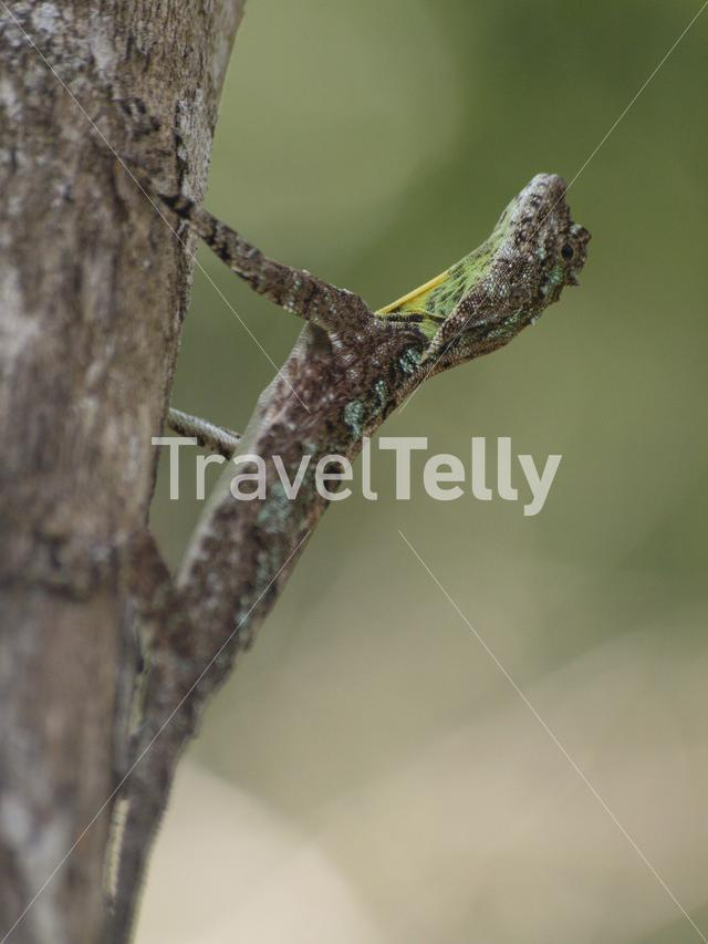 Flying dragon lizard in Netravali Wildlife Sanctuary India
