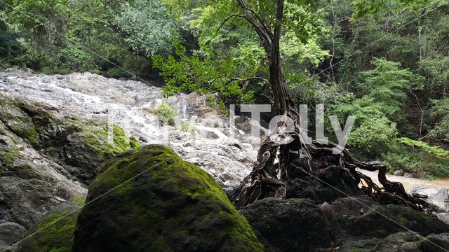 Tree growing with roots at the rocks at Montezuma falls Costa Rica