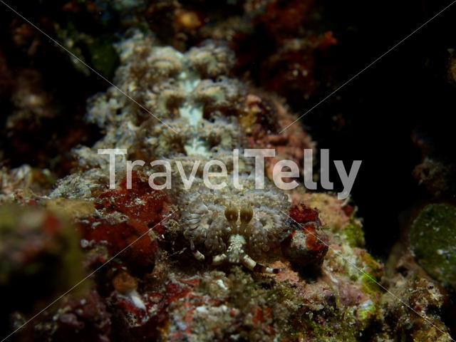 Blue dragon nudibranche in Bunaken National Marine Park Indonesia