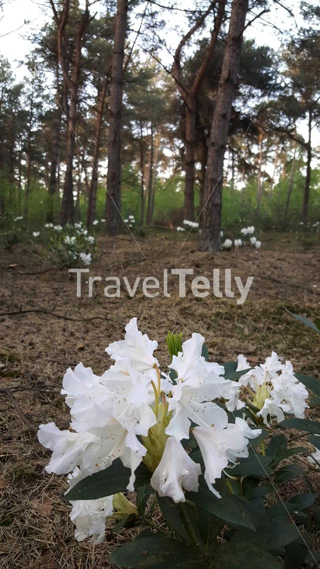 Wild rhododendron in the woods of National Park Sallandse Heuvelrug