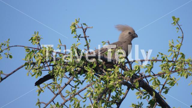 Grey go-away-bird in a tree at Naye-Naye Concession Area in Namibia