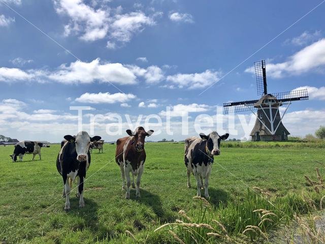 Cows in meadow with a windmill in Friesland The Netherlands