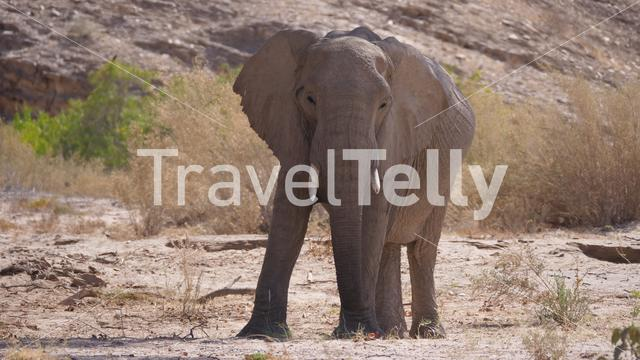 Lonely elephant at the Hoanib Riverbed in Namibia