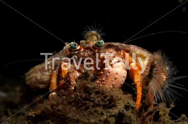 Hermit Crab in Lembeh Sulawesi Indonesia