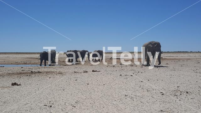 Herd of elephants at a waterpool in Etosha National Park in Namibia