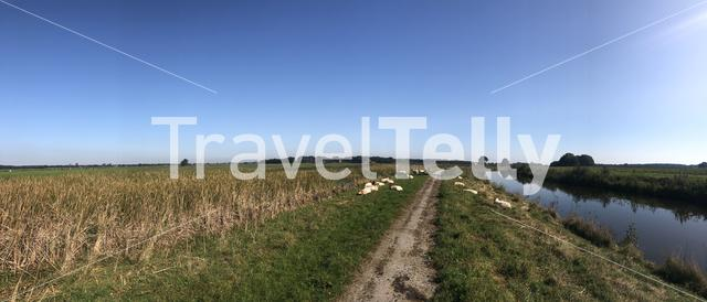 Sheeps next to a bicycle path around Makkinga in Friesland The Netherlands