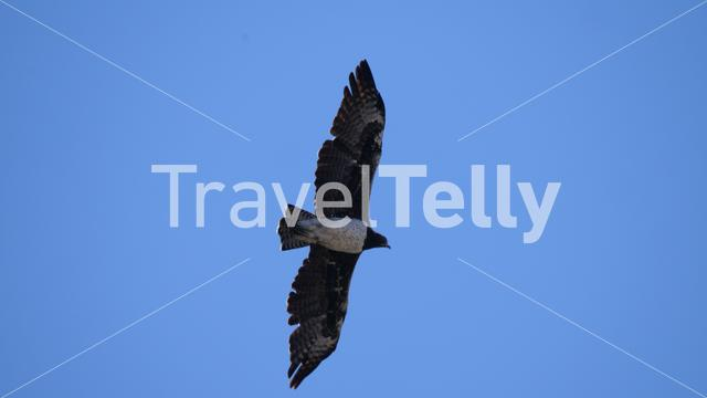 Martial Eagle flying around at Khaudum National Park, Namibia
