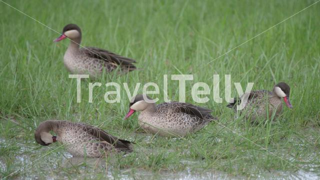 Group of female African comb ducks in a lake at Chobe National Park in Botswana