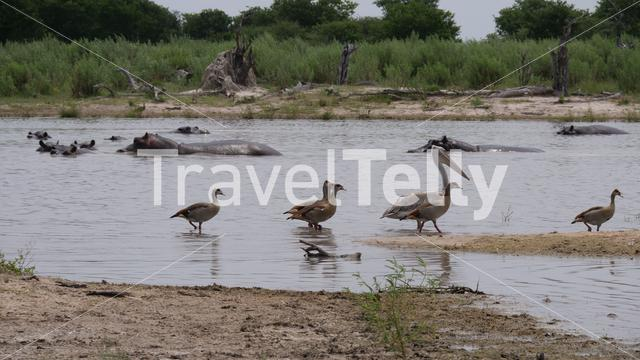 Egyptian goose and pelican around a hippo pool in Moremi Game Reserve, Botswana