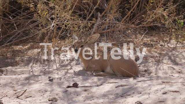 Close up from a steenbok resting at the Hoanib Riverbed in Namibia
