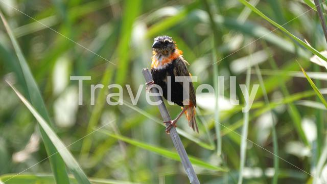 Juvenile waverbird on a branch between the reed in Pilanesberg Game Reserve South Africa