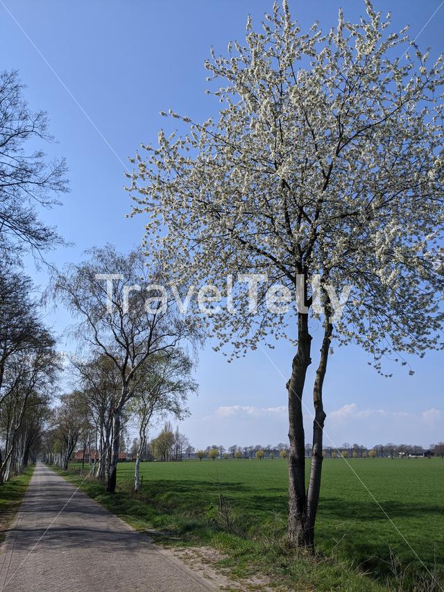 Tree in blossom during spring in Gelderland, The Netherlands