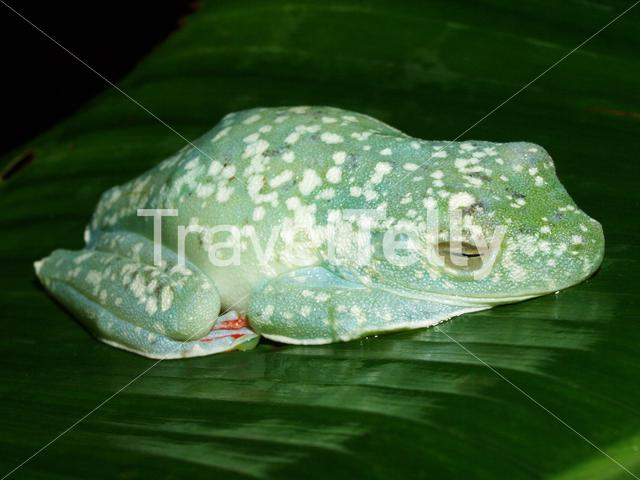 Scarlet-webbed Tree Frog sleeping in Tortuguero National Park Costa Rica