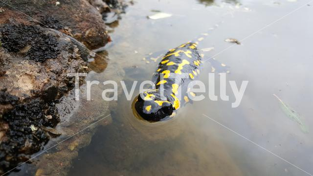 European fire salamander in a pond at sant llorenc del munt natural park Spain