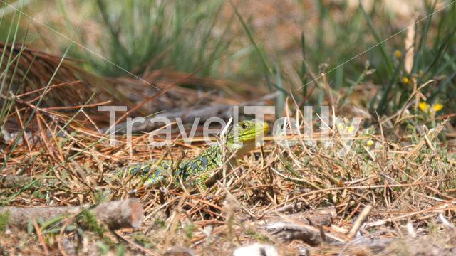 Ocellated lizard in the forest in Sil Canyon Spain