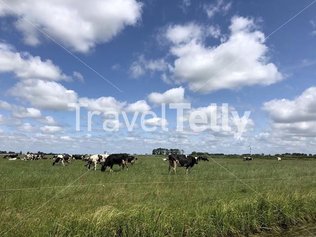 Cows in the meadow in Friesland, The Netherlands