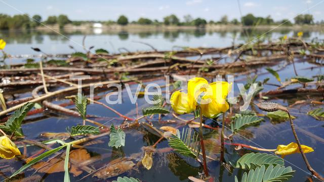 Flowers at the Okavango River around the Popa Game Park in Divundu, Namibia
