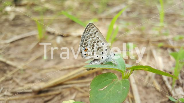 Common Blue butterfly in Bao Bolong Wetland Reserve a National park in Gambia, Africa
