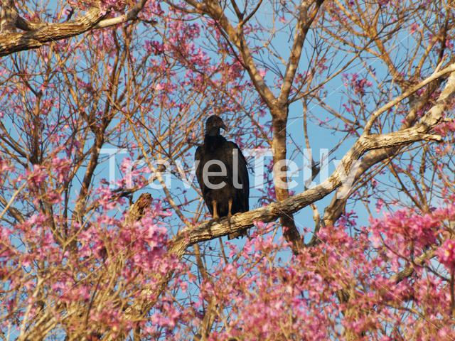 Black vulture in a tree in the Pantanal, Brazil