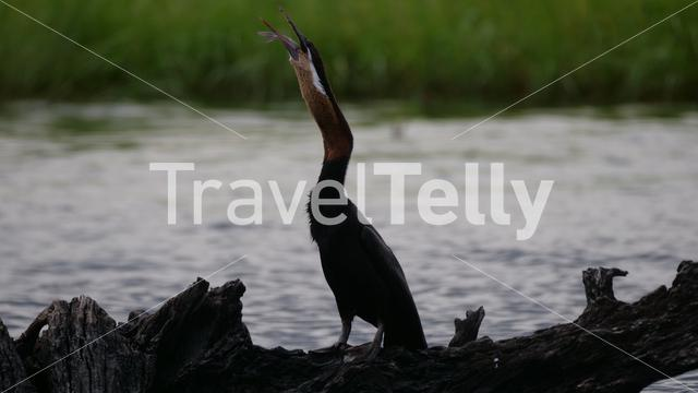 Cormorant eating a fish