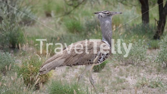 Kori bustard the largest flying bird native to Africa walking around in Central Kalahari Game Reserve, Botswana