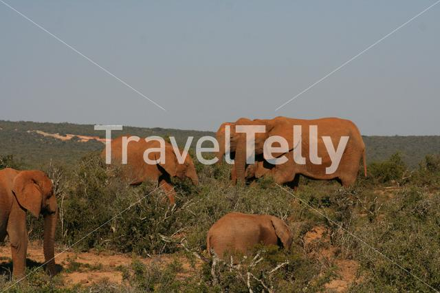 Herd of elephants at the Eastern Cape in South Africa
