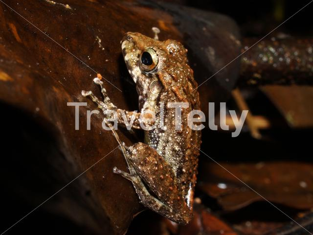 Rana frog in Corcovado National Park Costa Rica