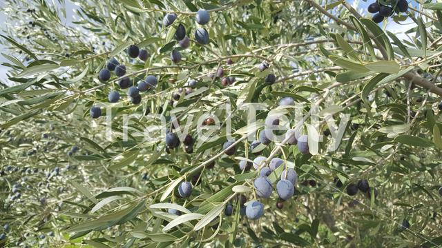 Olive tree around Nea Petra Greece