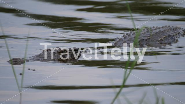 Crocodile in a lake at Moremi Game Reserve, Botswana