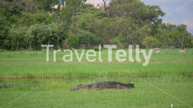 Crocodile laying in the grass near a river