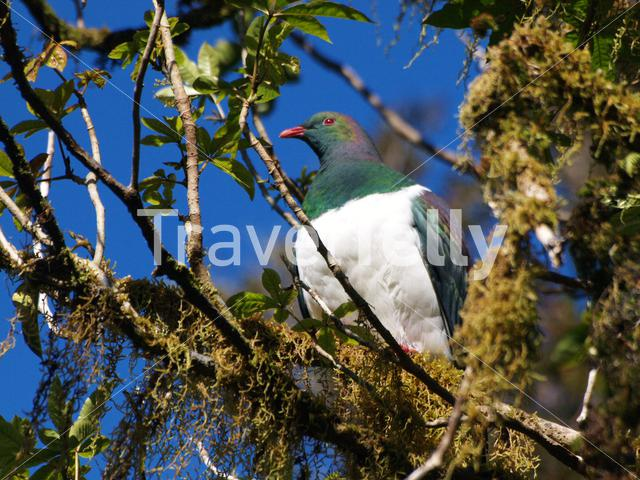 Common wood pigeon in a tree