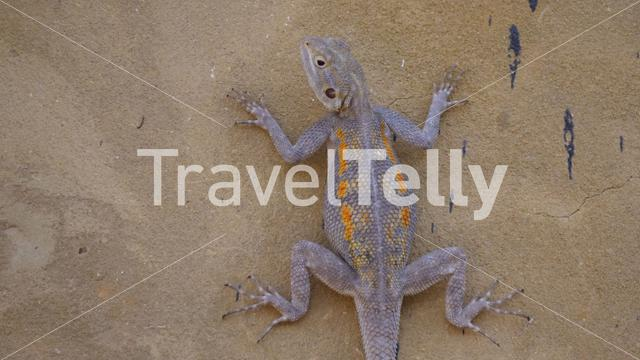 Agama lizard on a wall in Senegal, Africa