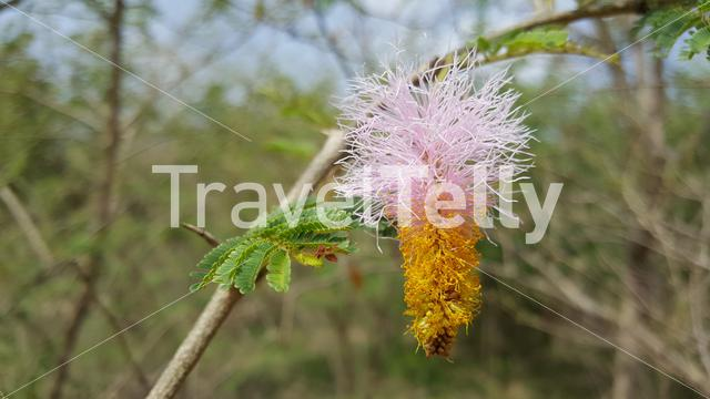 Mimosa Hostilis Flower in Bao Bolong Wetland Reserve a National park in Gambia, Africa