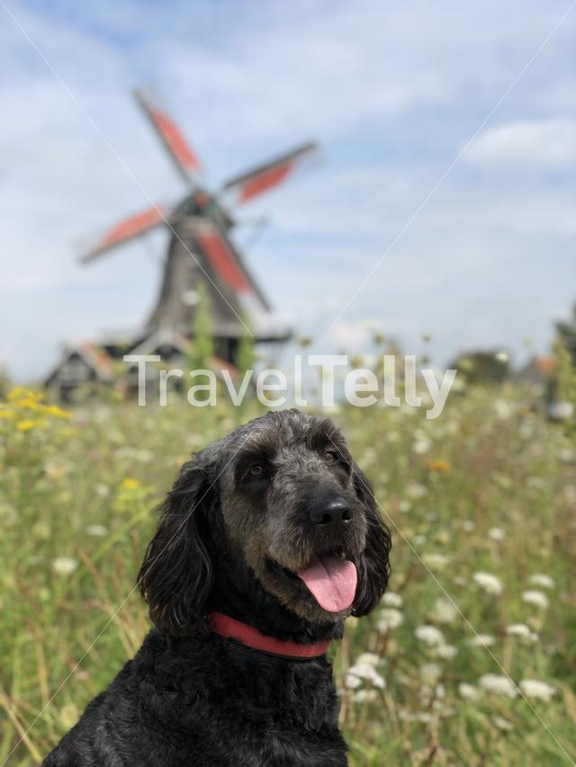 Dog in front of a windmill in IJlst, Friesland The Netherlands